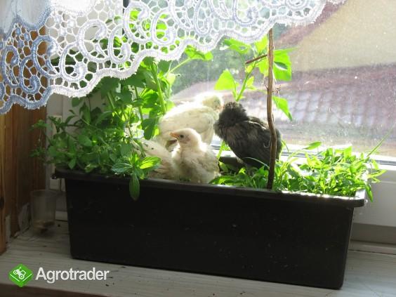 Jaja lęgowe, koguty, kury, chabo, silki, pawłowskie, czubatki, seramy - zdjęcie 5