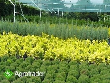 Iglaki i inne krzewy ozdobne-ponad 280 odmian !