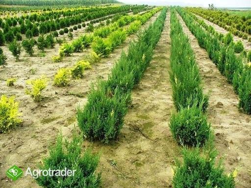 Iglaki i inne krzewy ozdobne-ponad 280 odmian ! - zdjęcie 3