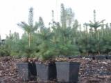świerki na plantacje choinkowe