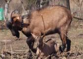 dorodnego capa kozy mlecznej francuska alpejska sp