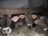Sprzedam 6 sztuk byczków rasy Brown Swiss