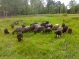 Sprzedam Owce Wrzosówka 20 matek