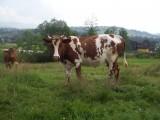 2 Krowy
