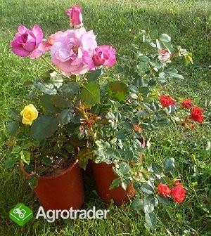Sprzedam róże doniczkowe