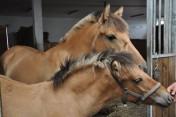 Obornik koński oddam