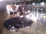 jałówki i krowy