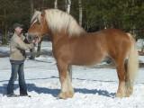 Konie ogier zimnokrwisty sokólski