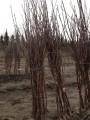 Drzewka Owocowe Wiśnie Pandy 103,Groniasta z Ujf,