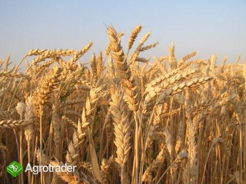 Kwalifikowany materiał siewny- pszenica ozima