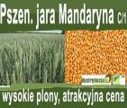Kwalifikowane nasiona siewne pszenica jara Mandaryna C/1