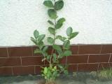 sadzonki aronii bardzo ładnie rozkrzewione