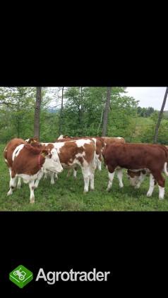 Simental-jałówki i byczki po matkach z Czech - zdjęcie 1