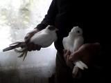 Sprzedam Gołębie Ozdobne tanio