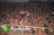 kurki odchowane kokoszki kury ferma drobiu   kurczeta