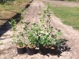 borówka amerykańska sadzonki krzewy