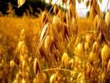 Odstąpię dzierżawę Gospodarstwa Rolnego 450 ha