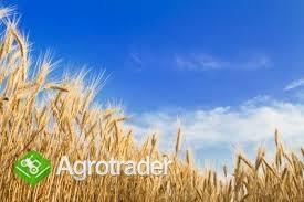 kupię pszenicę, pszenżyto  i inne zboże