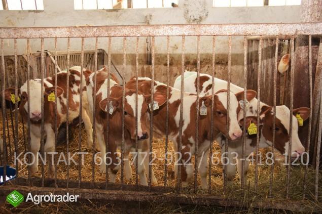 Byczki mięsne i NBC nowa dostawa - zdjęcie 1