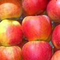 Sprzedam jabłka Szampion / Champion