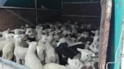 jagnięta ,baranki owce cena za sztukę tylko 35 zł