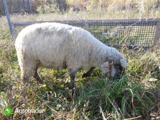 Barany i owca czarnogłówki na sprzedaż - zdjęcie 3