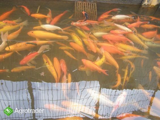 Karp, Amur, Tołpyga ,Sum, Lin, Ryby kolorowe. - zdjęcie 6