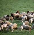 Ukraina. Owce kozy miesne 140 zl/szt, jagniecina 3 zl/kg + 10tys.ha