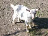 Koza wysokomleczna 3letnia + dwa małe capki