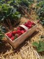 Zbiór truskawek - bardzo dobre warunki