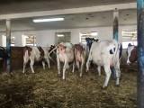 Jałówki cielne oraz krowy pierwiastki HF czeskie