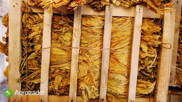 Liście Tytoniu BALE TONGA Bułgaria VIRGINIA I GATNEK - zdjęcie 1