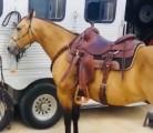 Buckskin čtvrtletí kůň valach   (Stann) je připraven k lepení, úžasný