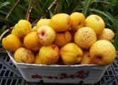 PIGWOWIEC pachnące owoce od rolnika EKO certyfikat