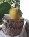 Dojrzala pigwa gruszkowa & jablkowa