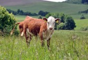 Zobacz i wybierz sam.Mięsne Byczki,jałówki 250-350kg-Łotwa,Estonia