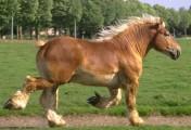Ukraina.Ciezkie konie 3zl/kg wlodzimierskie o duzej masie ciala.Sprzet