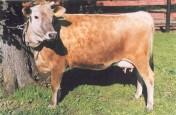 sprzedam krowę jersey