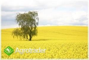 Kupię rzepak KAŻDE zboże kukurydzę