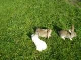 Witam mam do sprzedania króliki