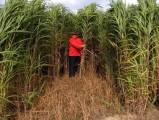 Miskant olbrzymi sadzonki biomasa