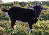 Kozy Kózki Koza