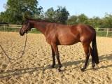 Koń gelding czystej krwi Bai 5 lat.